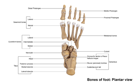 cuboid: Foot bones planter view