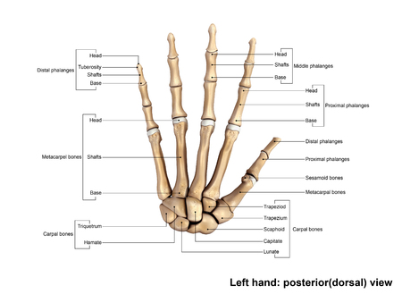 Wrist And Hand Bones Dorsal View Stock Photo Picture And Royalty