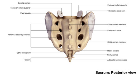 back view: Sacrum back view