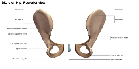sacroiliac joint: Pelvic hip Stock Photo