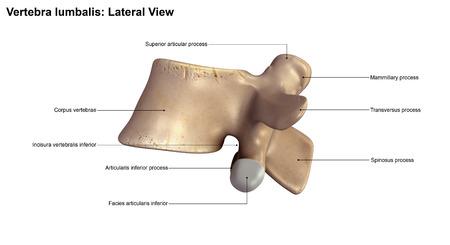 spinous: Vertebra lumbalis