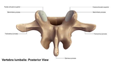 vertebra: Vertebra lumbalis