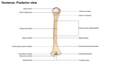posterior: Humerus Posterior view