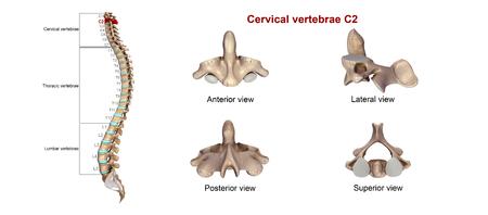 Cervical vertebrae C2 스톡 콘텐츠