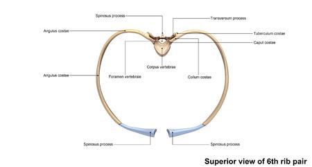 rib: Superior view of 6th rib pair