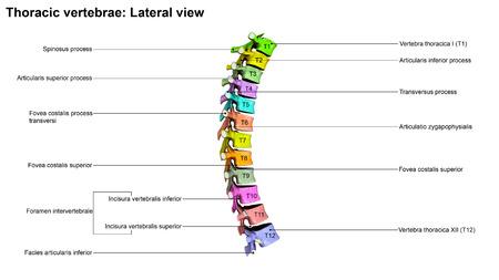 vertebrae: Thoracic Vertebrae