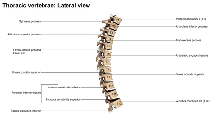 vertebrae: Thoracic Vertebrae Lateral view