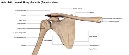 anterior: Articulatio humeri Bony elements (Anterior view)