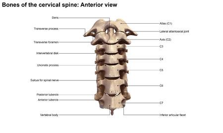 anterior: Cervical spine Anterior view