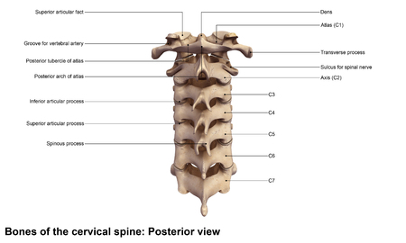 Cervical spine Posterior view