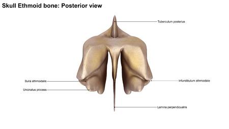posterior: Ethmoid bone Posterior view Stock Photo