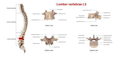 spinal disks: Lumbar vertebrae L3