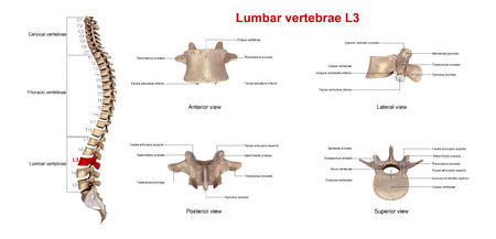spinous: Lumbar vertebrae L3