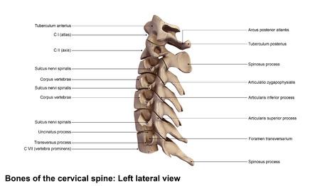 columna cervical vista lateral izquierda