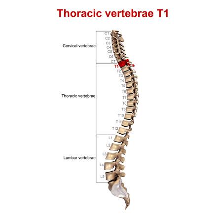 thoracic: Thoracic vertebrae T1