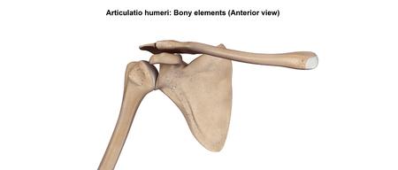 Articulatio humeri_Bony elements (Anterior view) Stock Photo