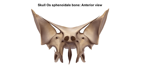Skull Os sphenoidale bone_Anterior view Stock Photo
