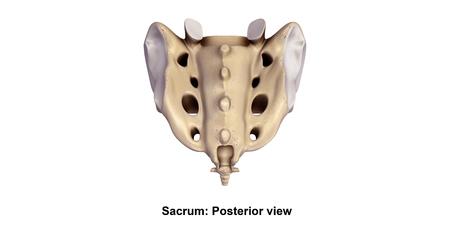 Sacrum_Posterior view