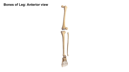 orthopedist: Bones of the Lower limbs