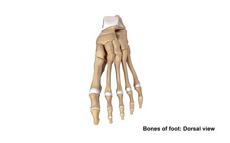 proximal: Foot Bones Dorsal view Stock Photo