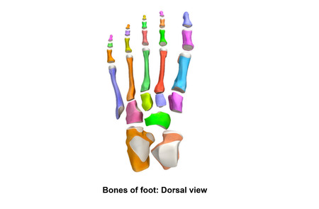 anterior: Foot Bones Dorsal view Stock Photo