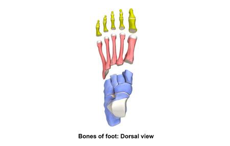 Foot Bones Dorsal view Stock Photo