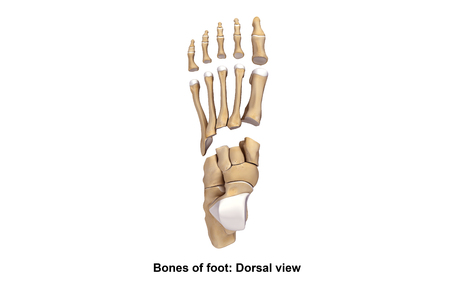 bones of the foot: Foot Bones Dorsal view Stock Photo