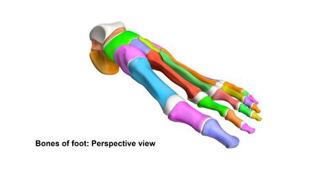 Foot Bones Perspective view