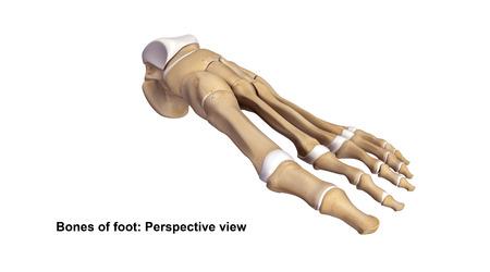 Foot bones Perspective view Stock Photo
