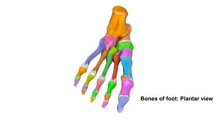 prespective: Foot bones Planter view Stock Photo