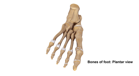 Foot bones Planter view Stock Photo