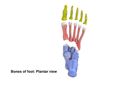 bones of the foot: Foot bones Planter view Stock Photo