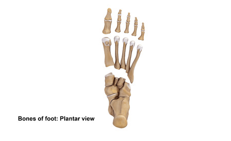 Foot Bones Planter View Stock Photo Picture And Royalty Free Image