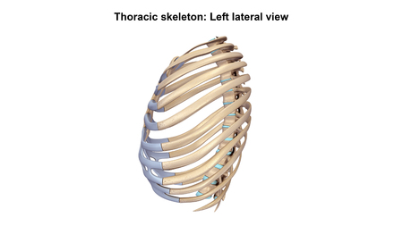 thoracic: Thoracic Skeleton Lateral view