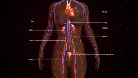 nephron: Human Excretory system Stock Photo