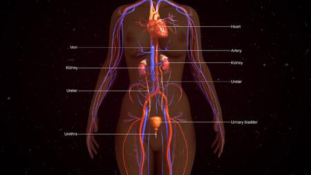 Human Excretory system Stock Photo