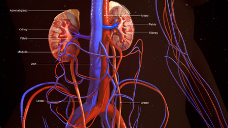 nephron: Kidneys Stock Photo