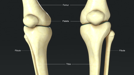 patella: Knee Joints