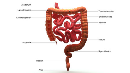 feces: Large Intestines Section