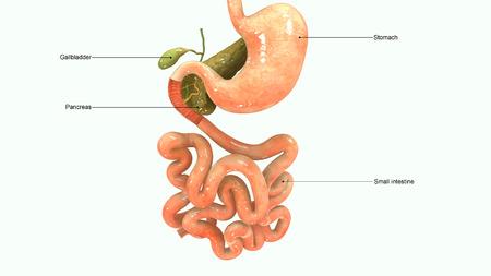 rectum: Digestive system