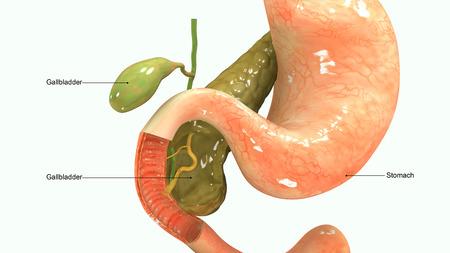 esofago: Sistema digestivo