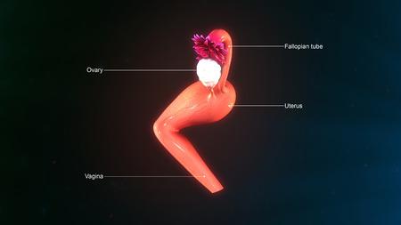 ovaries: Uterus side Stock Photo