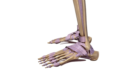 Skeleton foot with ligaments side view