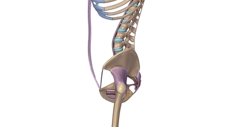 skeleton hip with ligaments side view
