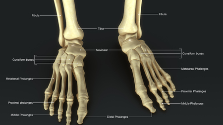 bones of the foot: Foot bones Stock Photo