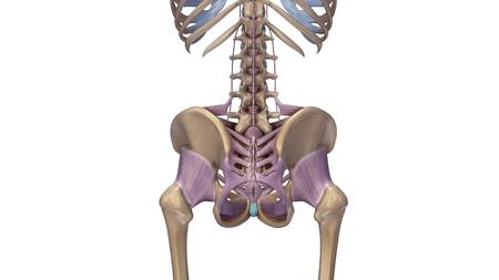 hip squelette avec ligaments arrière vue