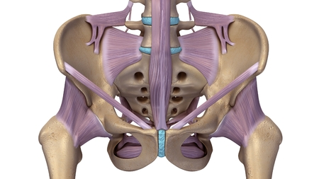 skeleton hip with ligaments front
