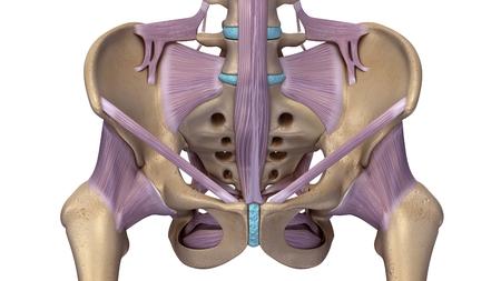 Skelett Hüfte mit Bändern vorne Standard-Bild - 68572445