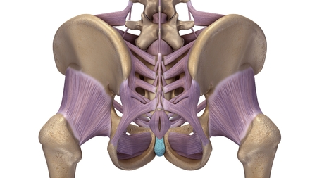 skeleton hip with ligaments back view 스톡 콘텐츠