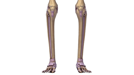Skeleton legs with ligaments Stock Photo